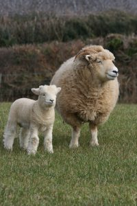 Exmoor Horn Ewe and Lamb