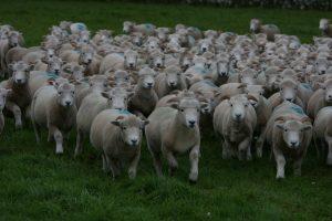 Exmoor Horn Flock